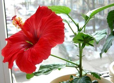 Каштан цветы лечебные свойства настойка