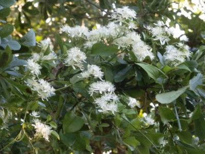 Клематис Мелкоцветковый