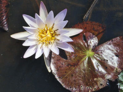 Кувшинка Мелкоцветковая