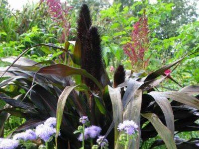 Пеннисетум Пурпурный Барон