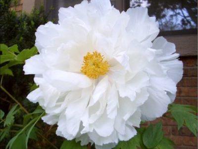 Пион Древовидный Белый Нефрит