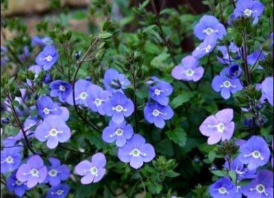 цветок вероника
