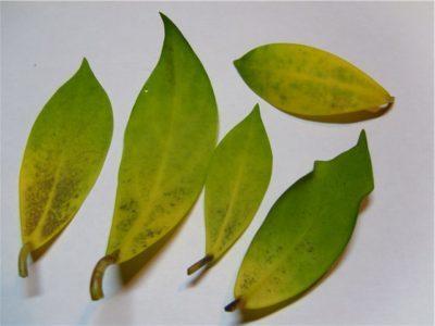 Хойя желтеют листья
