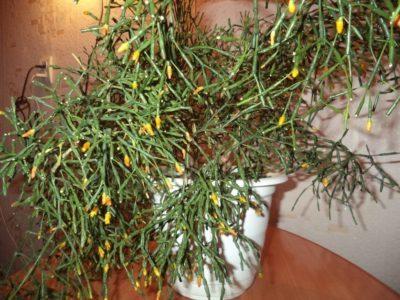комнатное растение хатиора уход в домашних условиях