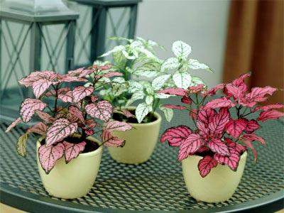 Цветок гипоэстес фото уход в домашних условиях