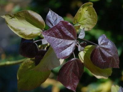Катальпа краснеющая пурпуреа