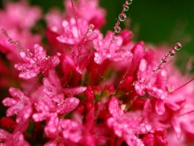 Кентрантус розовый