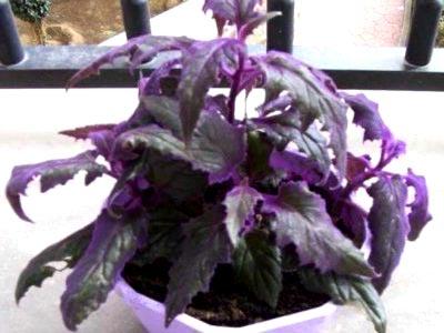 Гинура цветок уход в домашних условиях фото 67