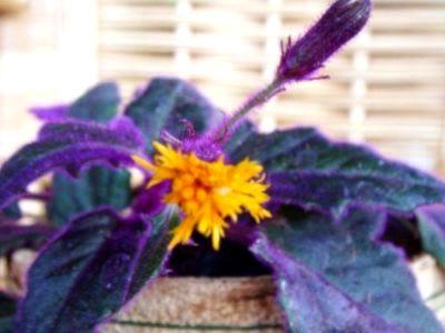 Гинура цветок уход в домашних условиях фото 64