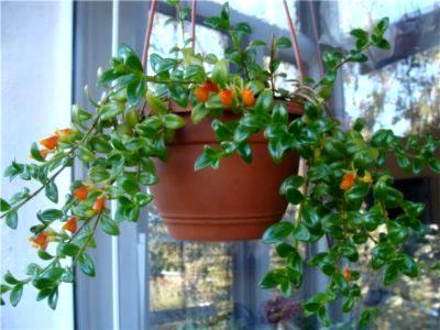 Гипоцирта цветок уход в домашних условиях и размножение