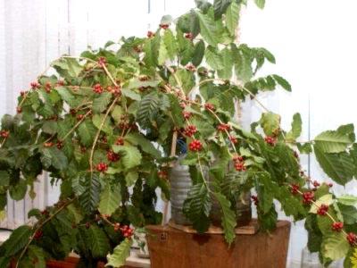 Кофейное дерево в домашних условиях размножение и уход