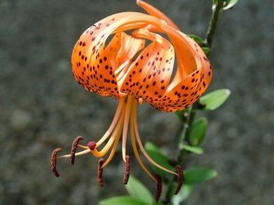 Лилия ланцетолистная