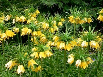 Рябчик императорский: посадка и уход в открытом грунте, сорта и выращивание