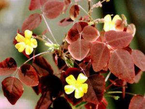 размножение кислицы листом