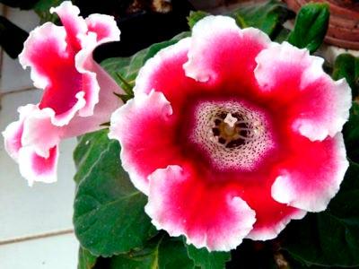 Глоксиния уход в домашних условиях период покоя и размножение