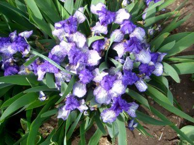 Цветок ирис посадка и уход в домашних условиях, фото и видео