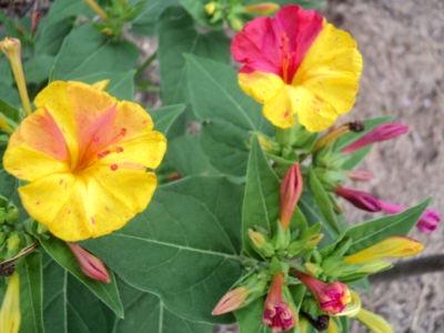 Мирабилис посадка и уход в открытом грунте размножение семенами