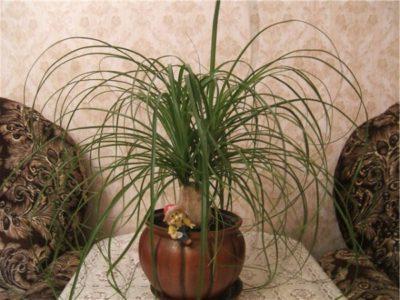 Нолина уход в домашних условиях пересадка обрезка и размножение