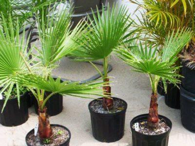 Пересадка пальмы вашингтония