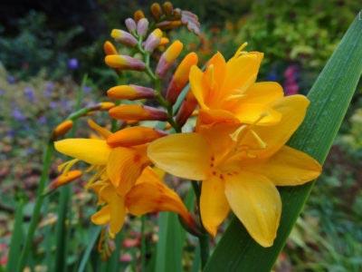 Цветок крокосмия (монтбреция): посадка и уход в открытом грунте, фото, выращивание из семян