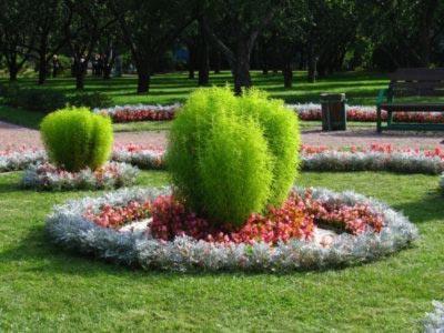 Как вырастить кохию из семян