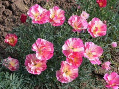 эшшольция розовая