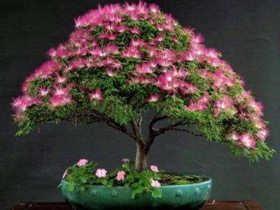 Альбиция Ленкоранская Карликовая: описание растения, уход, фото