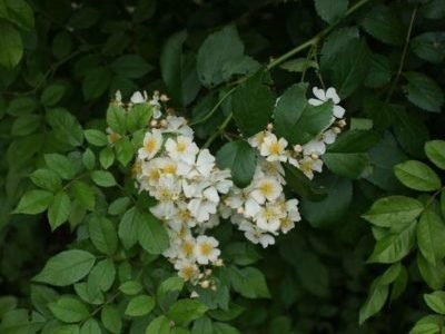Многоцветковый шиповник