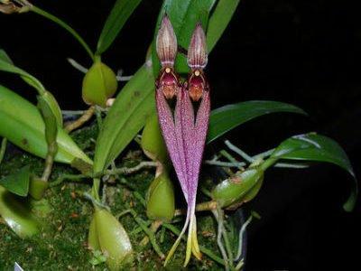 Бульбофиллум двуцветковый