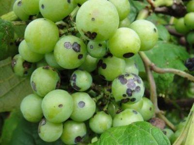 Чёрная пятнистость винограда