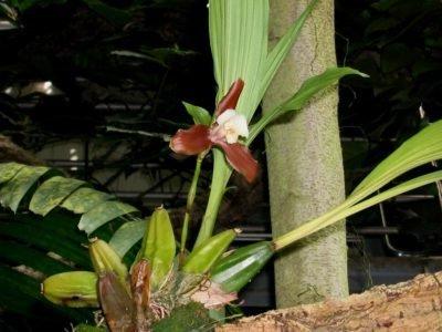 Ликаста Xytriophora