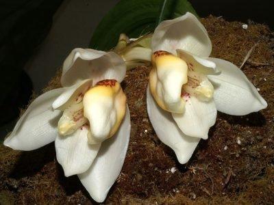 Стангопея ecornuta