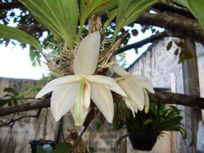 Стангопея grandiflora