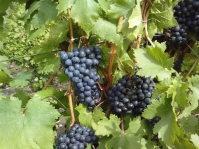 Виноград Серексия чёрная
