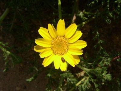 Анациклус integrifolia