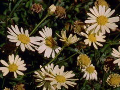 Аргирантемум callichrysum
