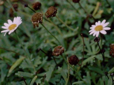 Аргирантемум coronopifolium