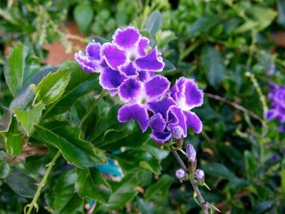 Дуранта – уход за растением в домашних условиях