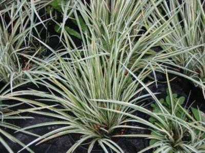 Аир variegatus