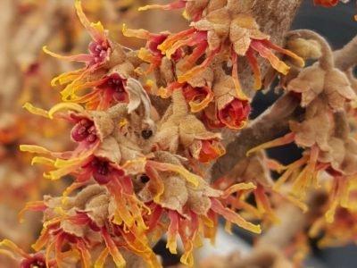 Гамамелис vernalis