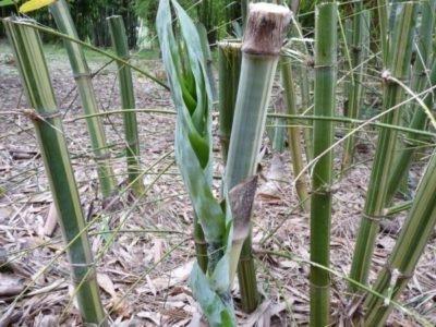 Бамбук Longispiculata
