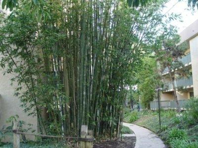 Бамбук Oldhamii