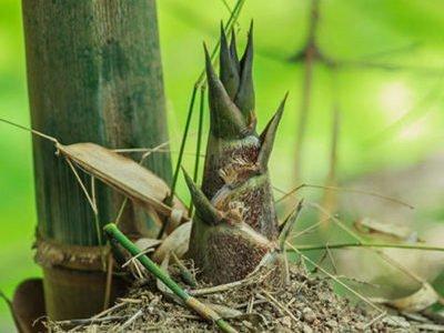 Бамбук Вlumeana