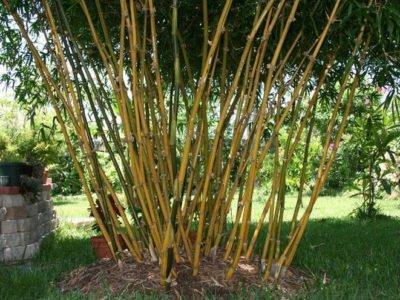 Бамбук Вздутый
