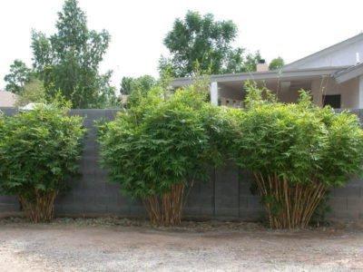 Бамбук множественный