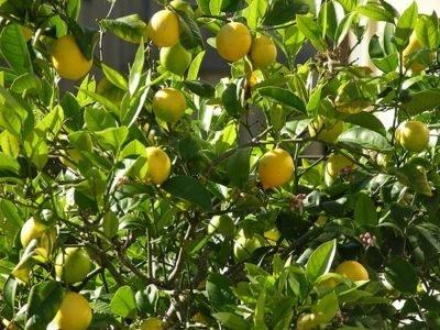 Китайский Лимон