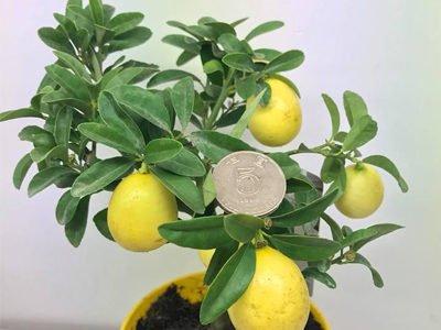 Лимон Лара