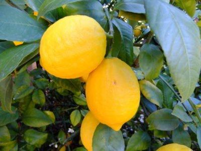 Лимон Новозеландский