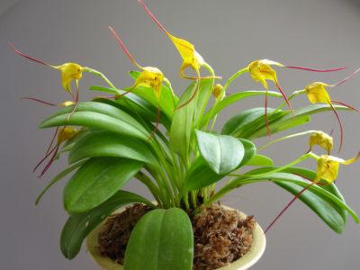 Масдеваллия Triangularis