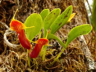 Масдеваллия Ventricularia
